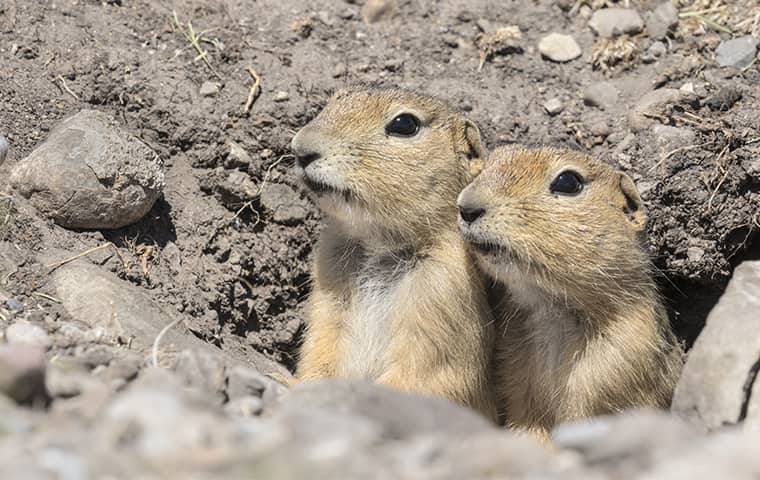 two ground squirrels up close