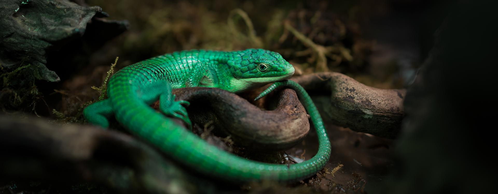 an alligator lizard on the ground