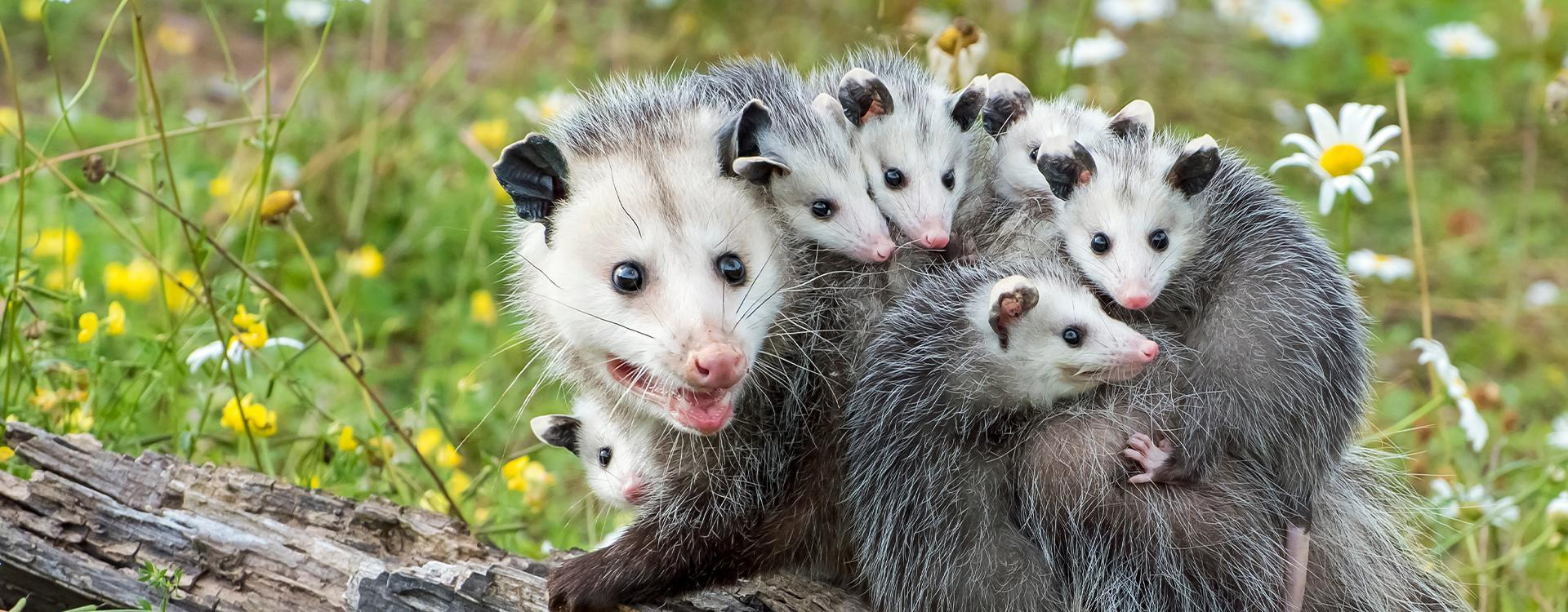 a group of opossums in california