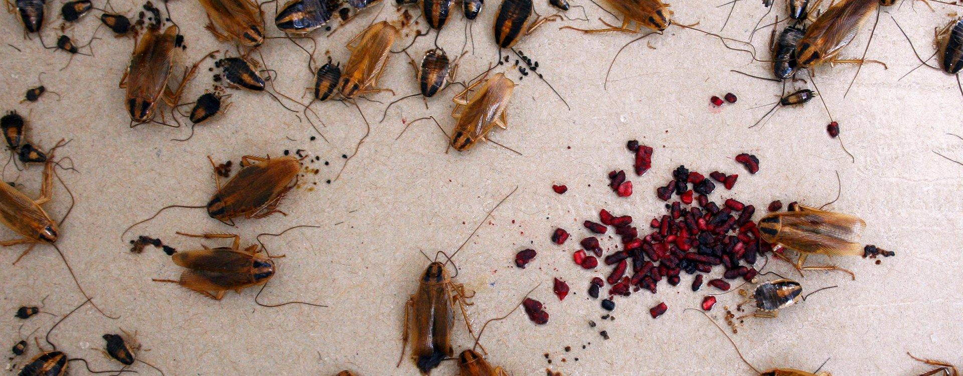 cockroaches on a glue board