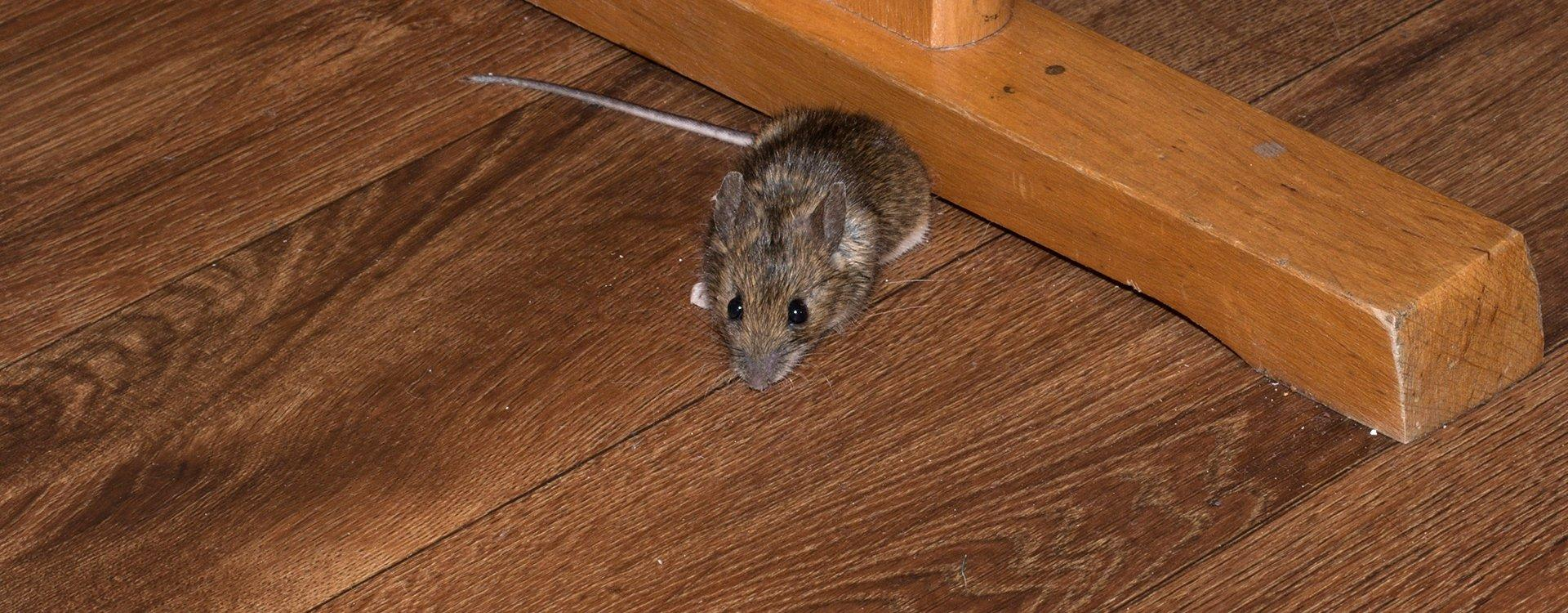 house mouse under a table