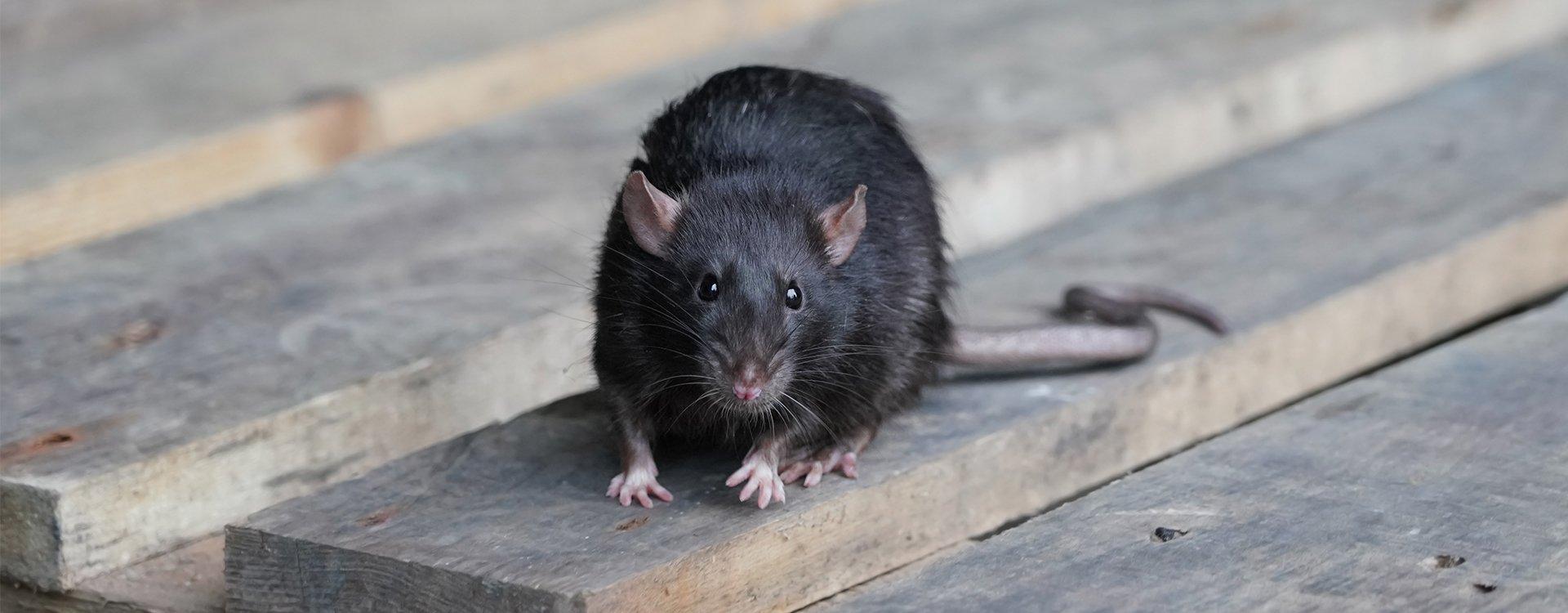 rat on a pallet