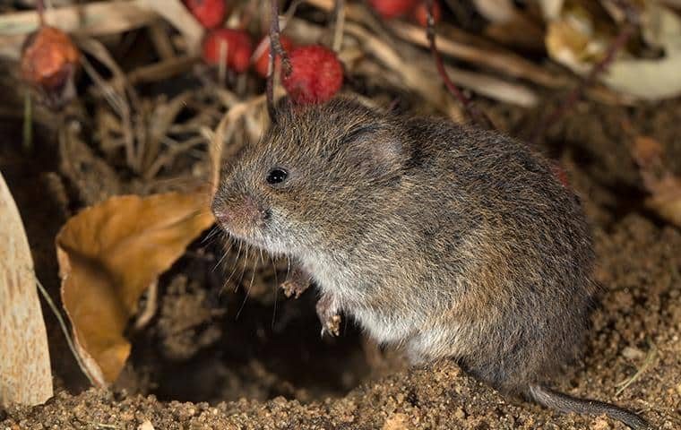 small meadow vole under a home in san jose