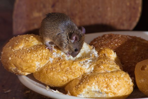 mice infestation at home