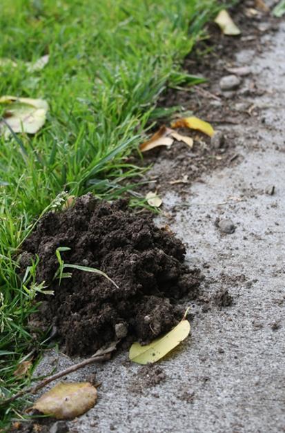 mole damage in monterey ca lawn