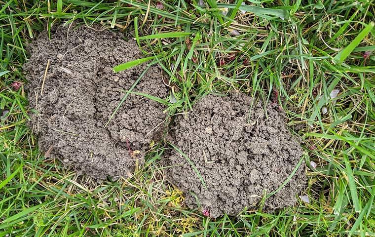 signs of mole infestation in palo alto lawn