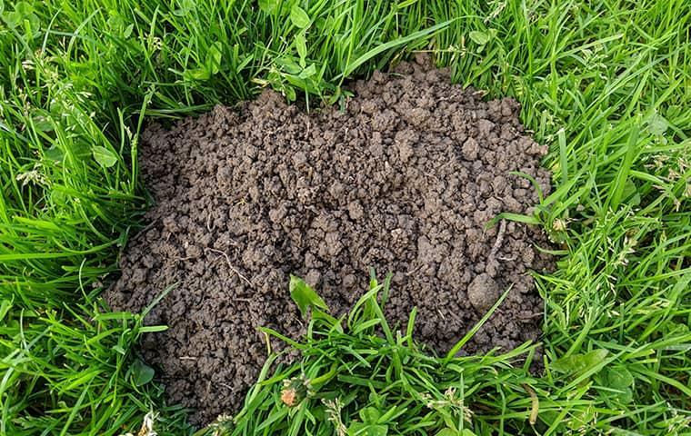 mole damage in san jose lawn