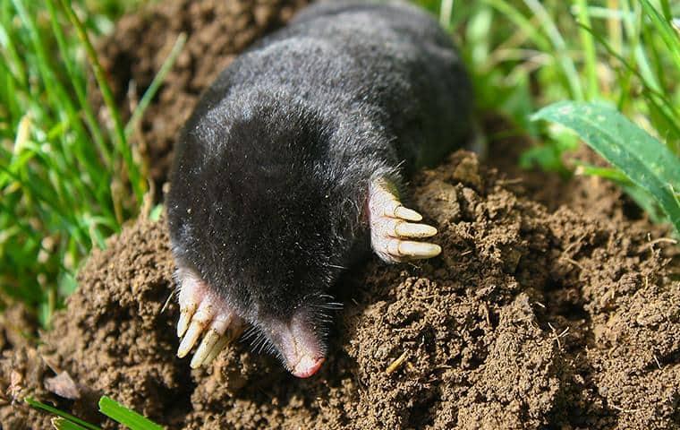 mole on top of mole pile in bay area