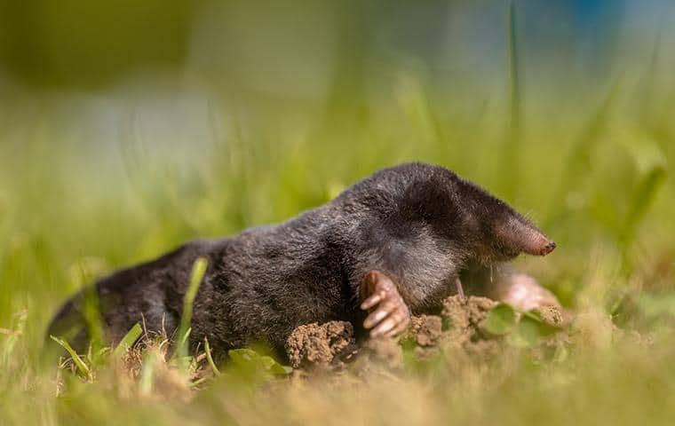 what a mole in california looks like