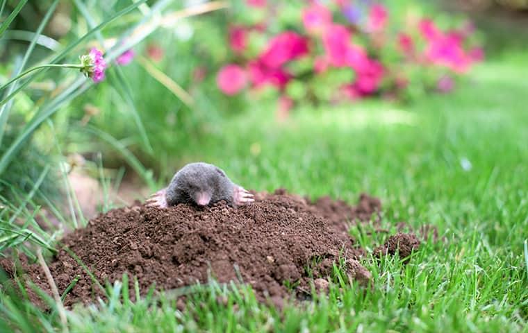 mole in a flower garden