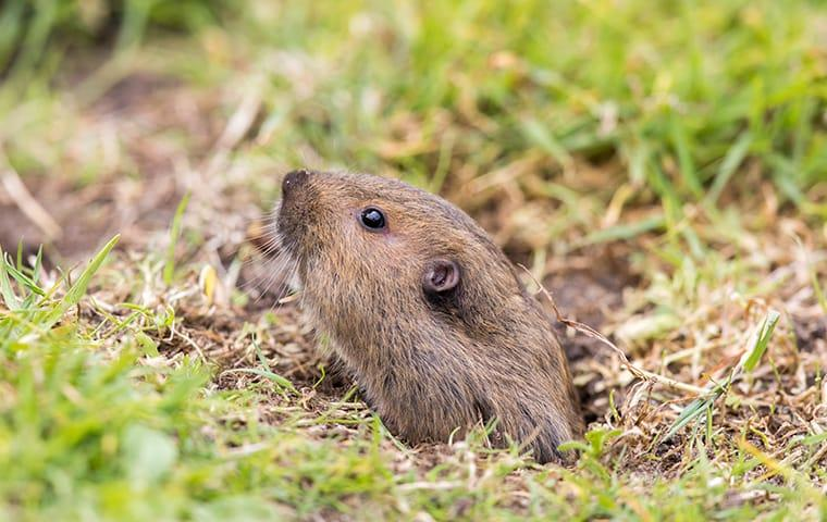 a pocket gopher looking out of a burrow in monterey california