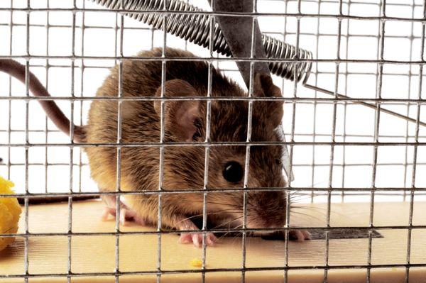 natural way to get rid of mice