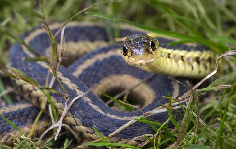 little garter snake looking at you