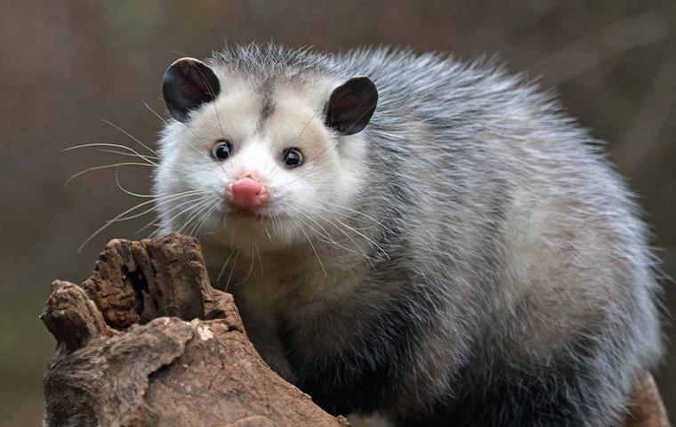 opossum on a log