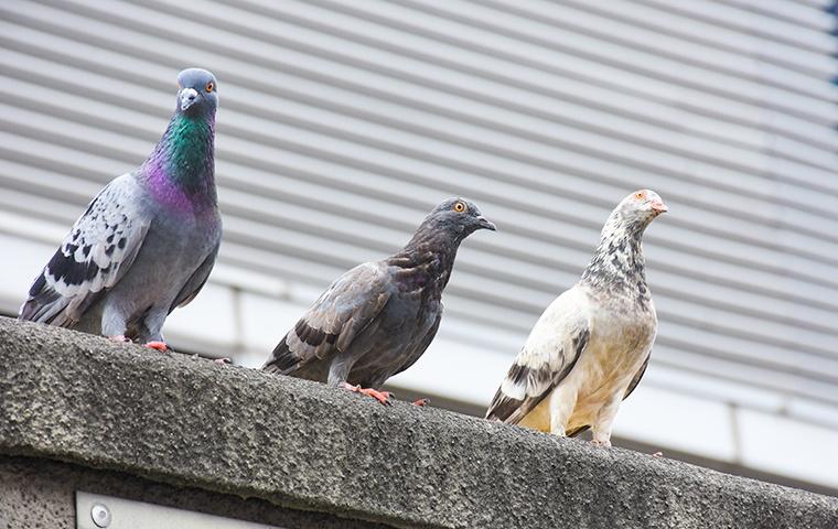 pigeons perching on ledge