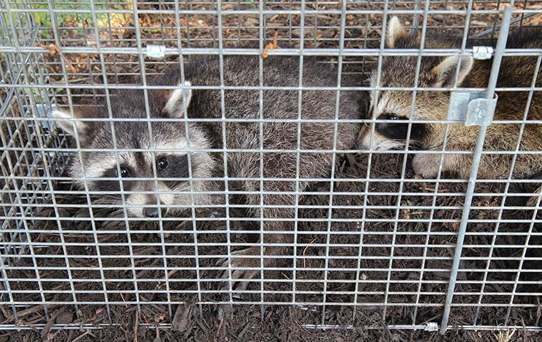 two raccoons trapped in a cage