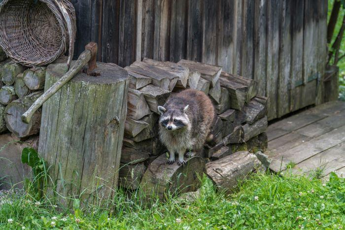 raccoon in yard