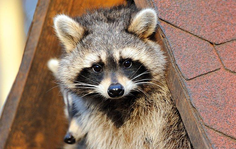 raccoon on a roof top