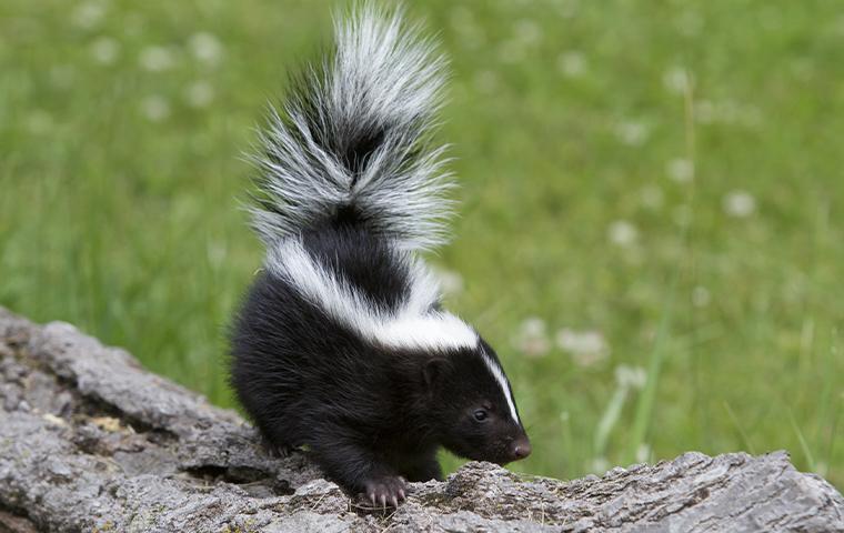 close up of skunk on a log
