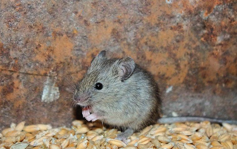 mouse in a grain barrel