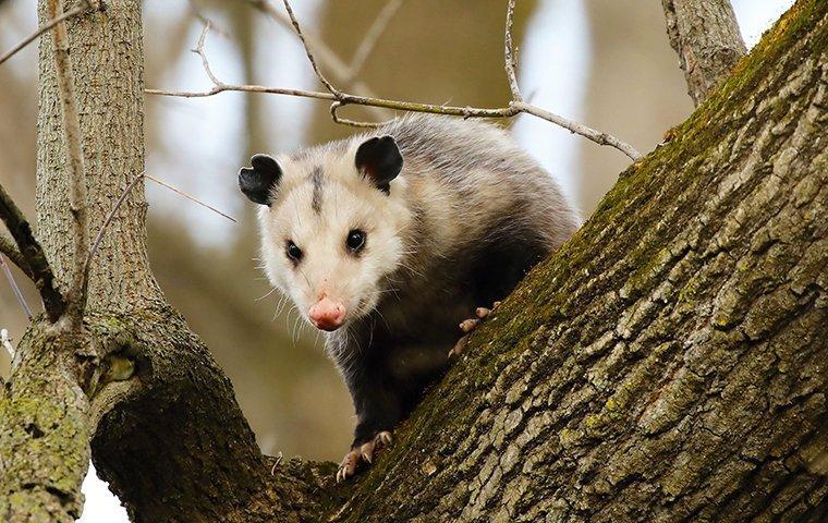 opossum on a tree