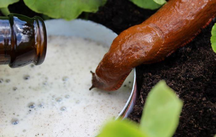 snail beer home remedy trap