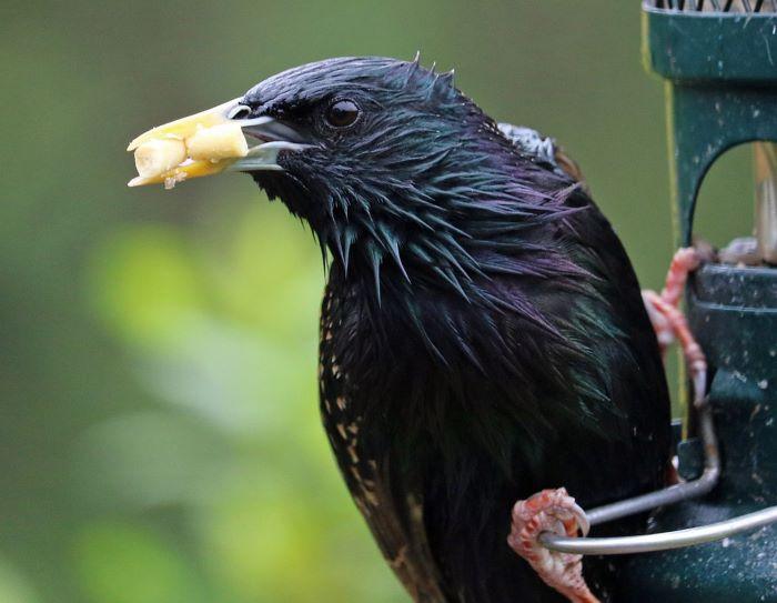 starling at the bird feeder
