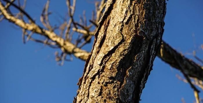 tree damaged by bark beetle