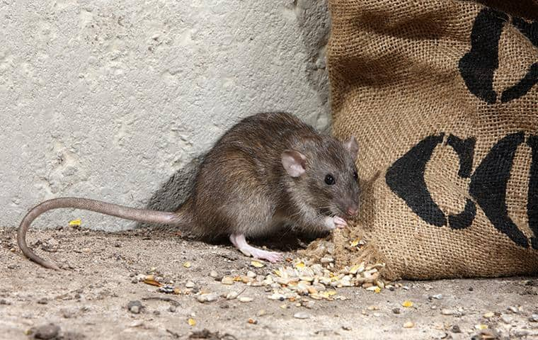 type of rat in the san francisco bay area