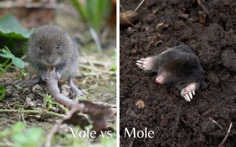 vole vs mole differences