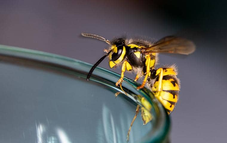 yellow jacket in the bay area on a glass