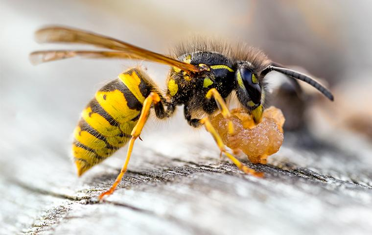 yellow jacket foraging for food in san francisco
