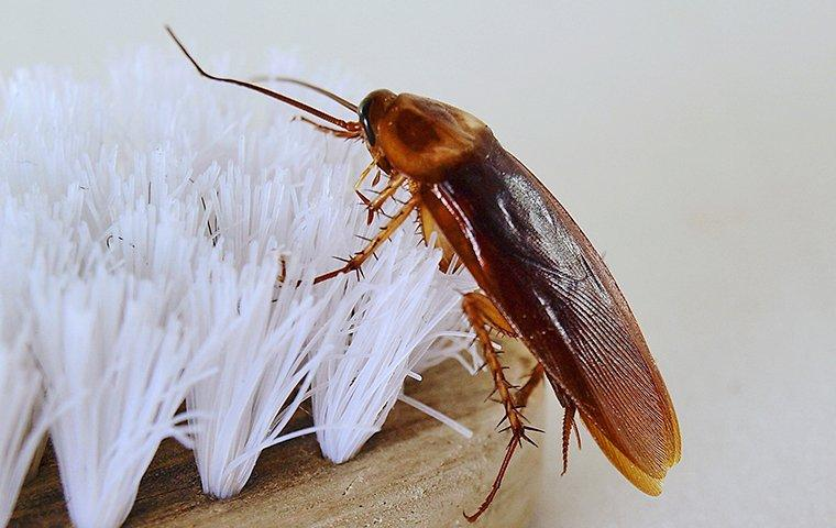 an american cockroach crawling on a toothbrush