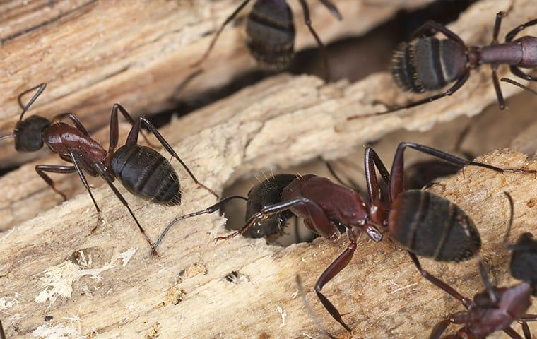 a large colony of carpenter ants clustered along a wooden structure hidden within an overland park home