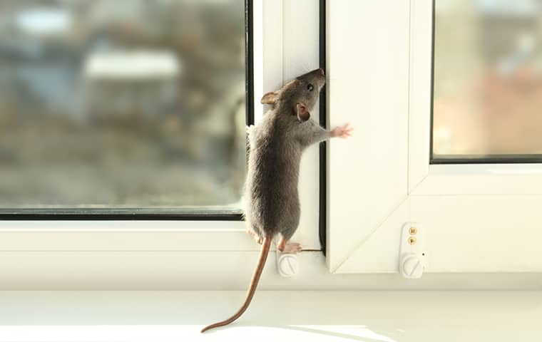 a mouse climbing on the window of a house in kansas city missouri