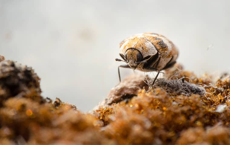 a carpet beetle crawling inside of a home in kansas city missouri