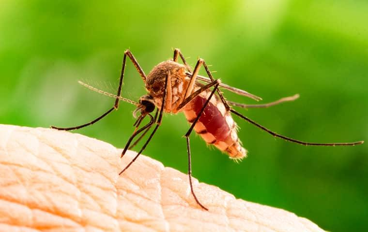 a blood tirsty mosquo biting the bare skin of a overland park resident one sunny summer day