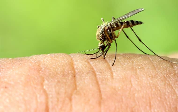 a mosquito biting a human