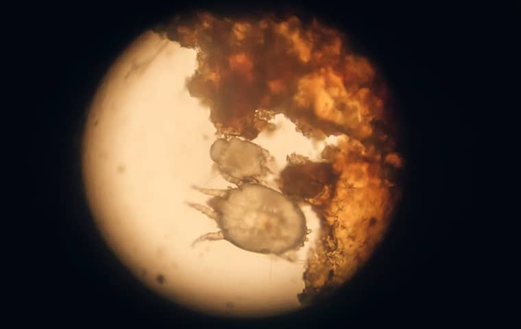 an oak leaf itch mite under a microscope in kansas city