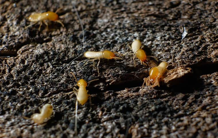 termites crawling on rotting wood inside of a home in kansas city missouri