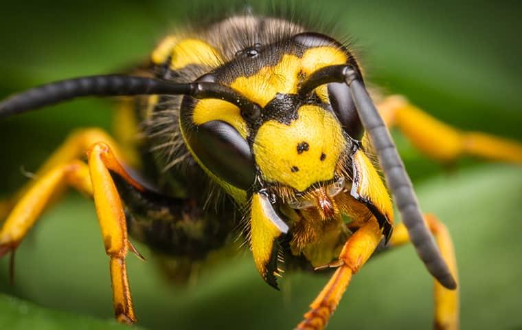 a yellow jacket wasp up close in kansas city missouri