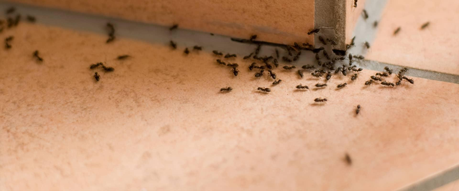 many ants on a patio in kansas city missouri