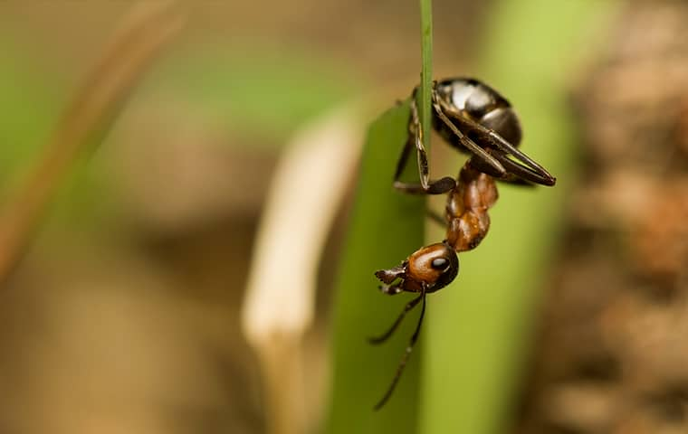 an acrobat ant hanging in the grass in eudora kansas