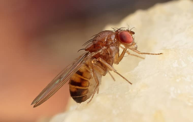 a fruit fly inside of a home in gardner kansas