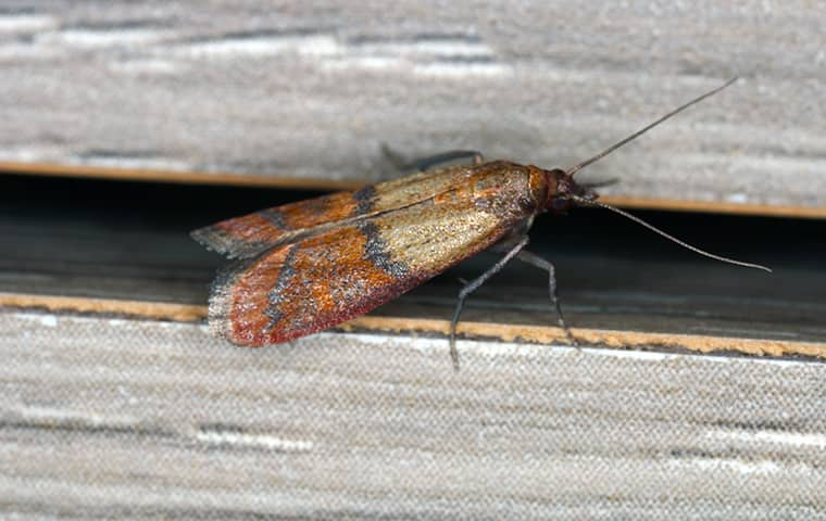 an indian meal moth crawling on a wall inside of a home in bonner springs kansas