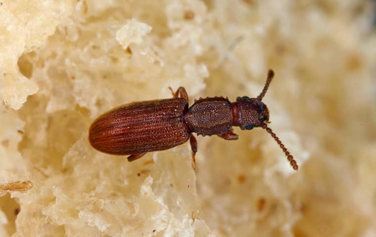 a saw toothed grain beetle inside of a home in blue springs missouri