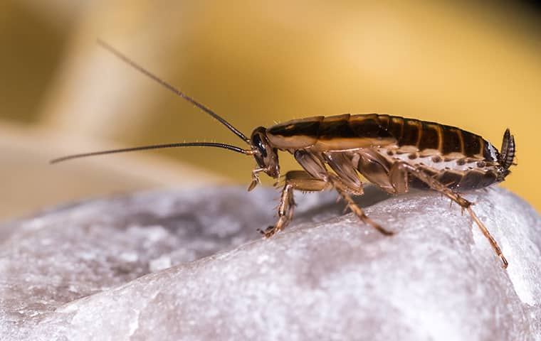 a german cockroach crawling on a rock inside of a home in grandview missouri