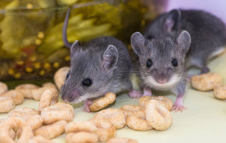 two mice eating cereal inside of a home in claycomo missouri