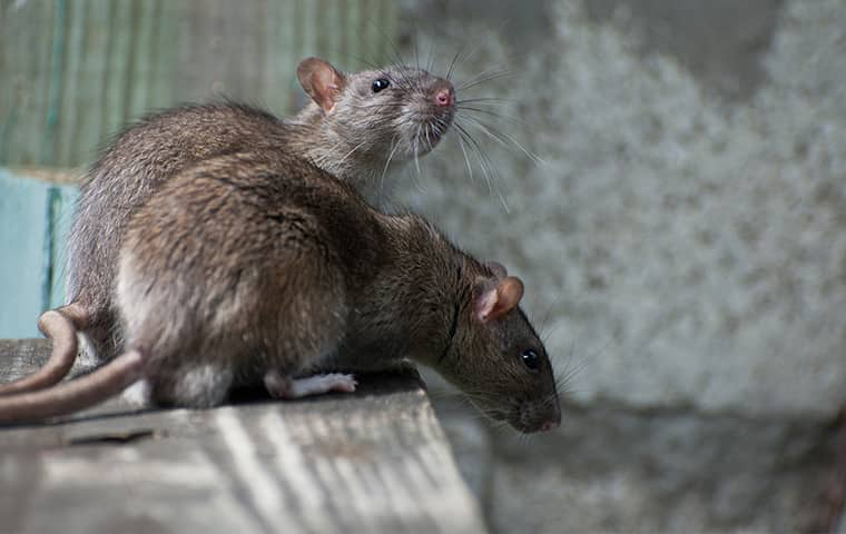 two rats on a surface down in a greenwood missouri residential basement