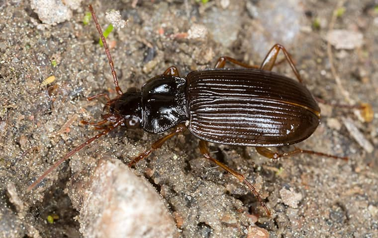 a ground beetle crawling on the ground outside of a home in hillsdale missouri